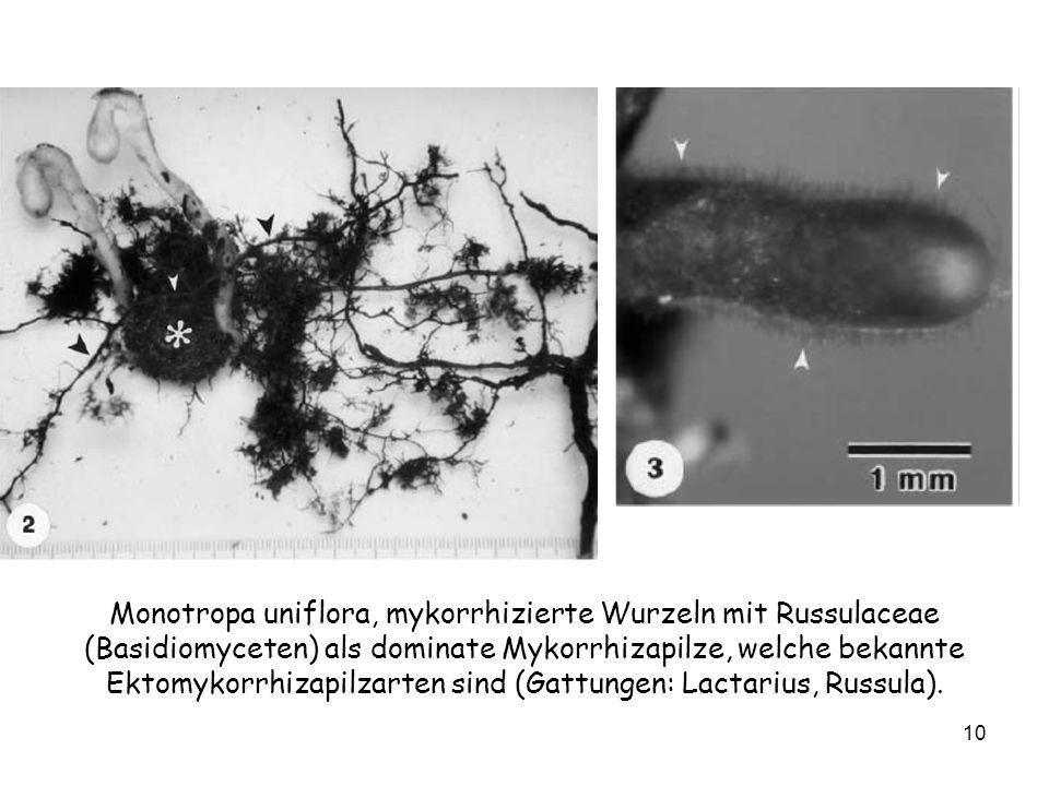 Monotropa uniflora, mykorrhizierte Wurzeln mit Russulaceae (Basidiomyceten) als dominate Mykorrhizapilze, welche bekannte Ektomykorrhizapilzarten sind (Gattungen: Lactarius, Russula).