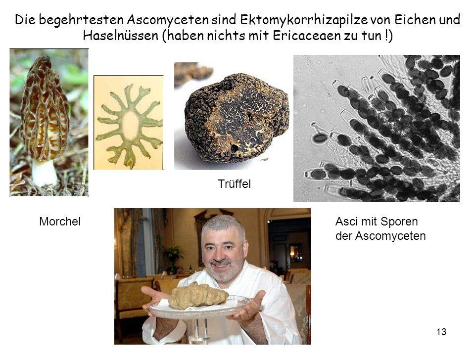 Die begehrtesten Ascomyceten sind Ektomykorrhizapilze von Eichen und Haselnüssen (haben nichts mit Ericaceaen zu tun !)
