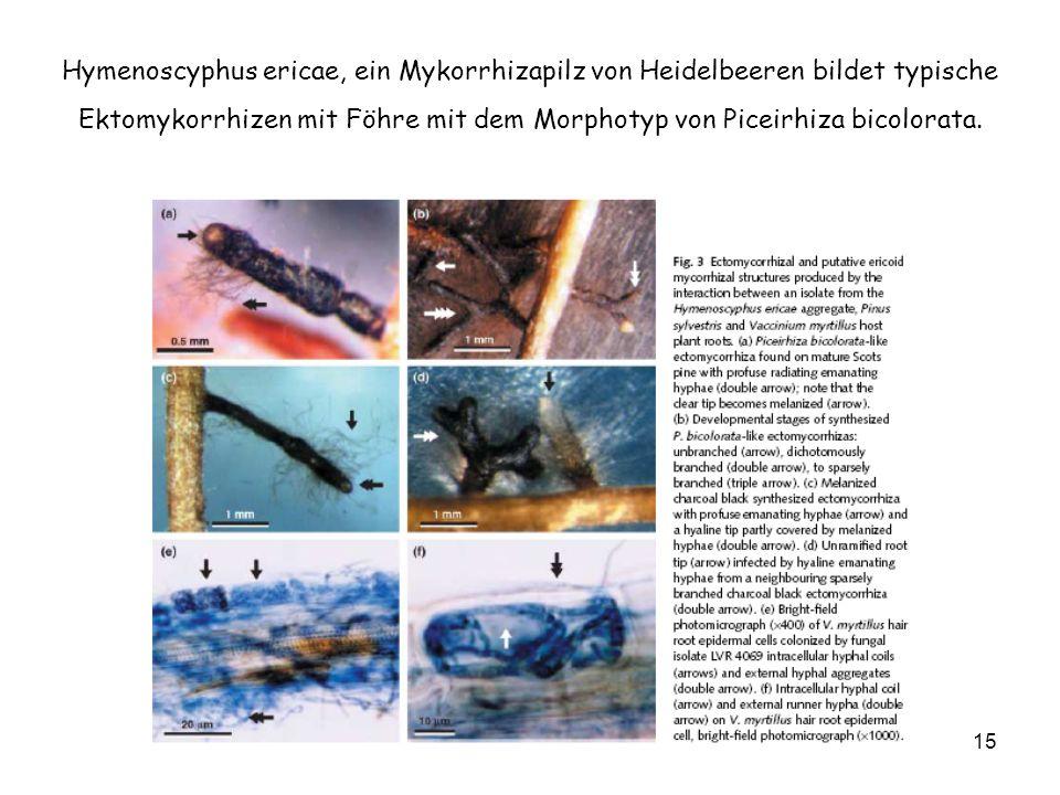 Hymenoscyphus ericae, ein Mykorrhizapilz von Heidelbeeren bildet typische Ektomykorrhizen mit Föhre mit dem Morphotyp von Piceirhiza bicolorata.