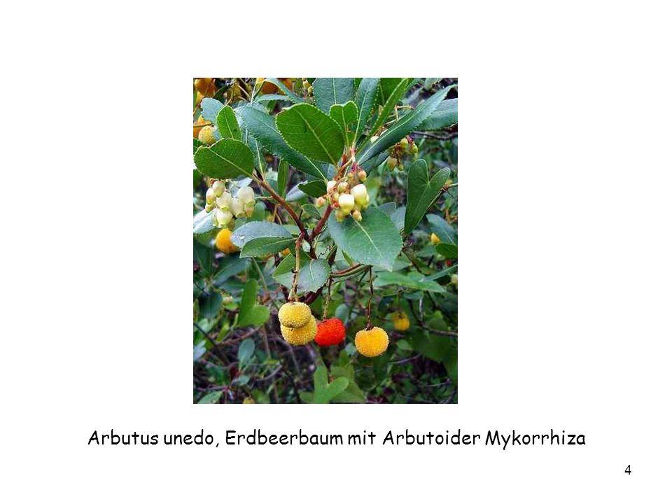 Arbutus unedo, Erdbeerbaum mit Arbutoider Mykorrhiza