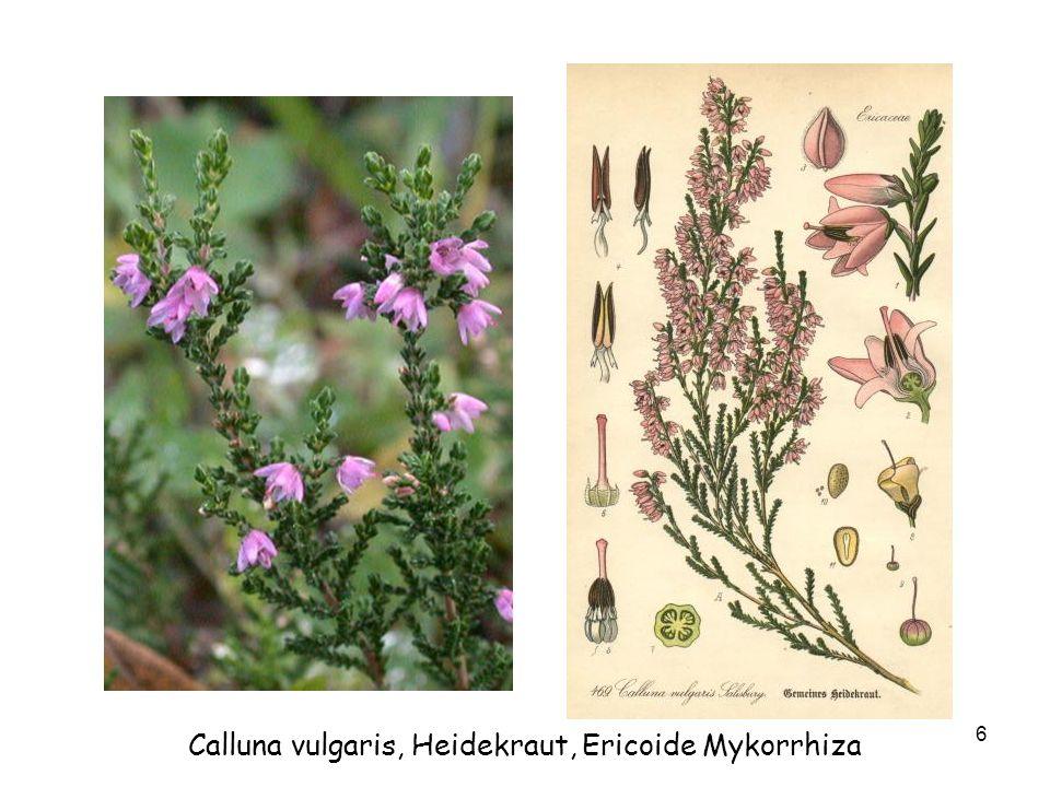 Calluna vulgaris, Heidekraut, Ericoide Mykorrhiza