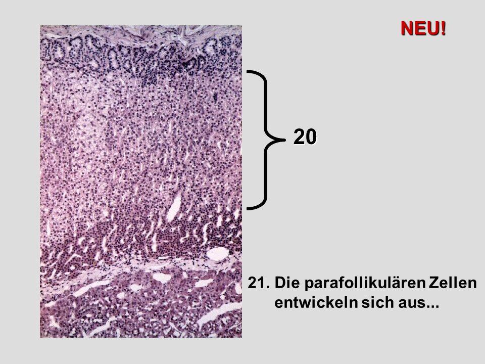NEU! 20 21. Die parafollikulären Zellen entwickeln sich aus...
