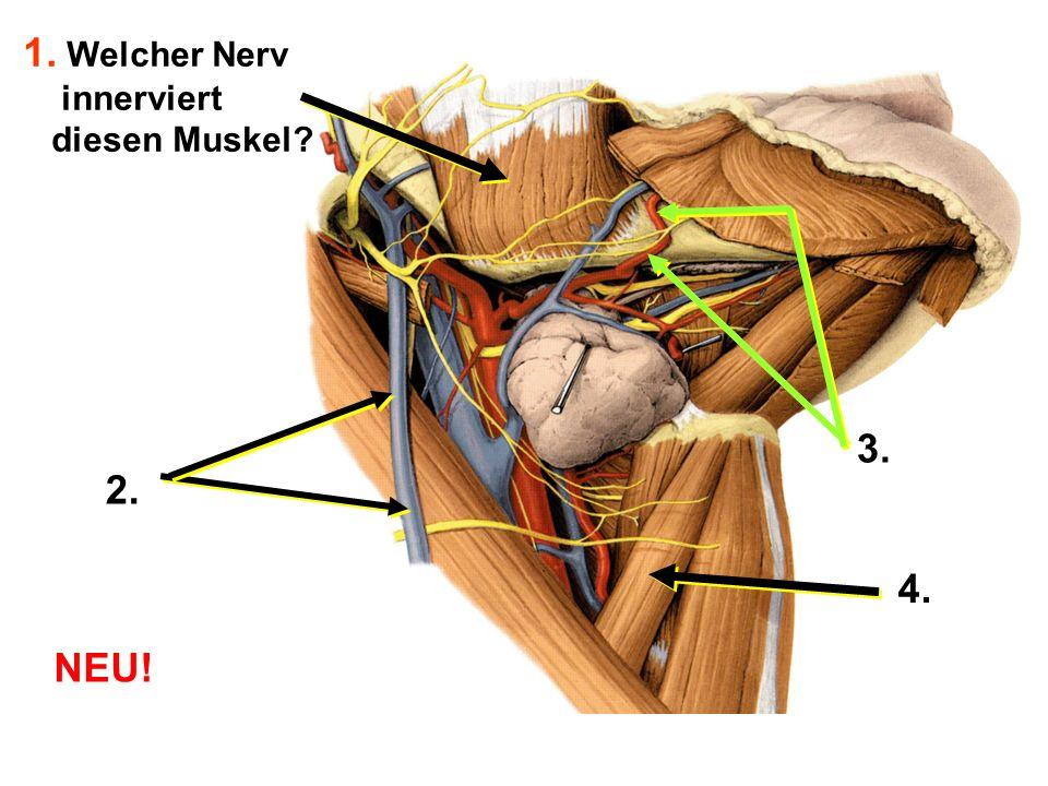 1. Welcher Nerv innerviert diesen Muskel 3. 2. 4. NEU!
