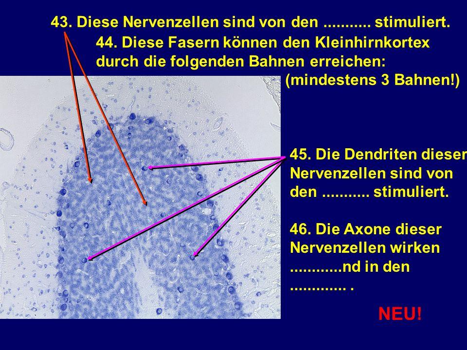 NEU! 43. Diese Nervenzellen sind von den ........... stimuliert.