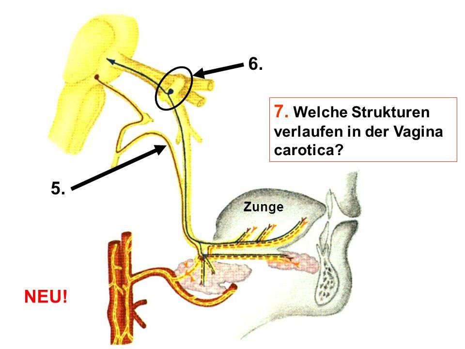 7. Welche Strukturen verlaufen in der Vagina carotica