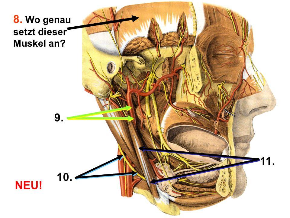 8. Wo genau setzt dieser Muskel an