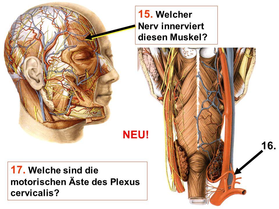 15. Welcher Nerv innerviert diesen Muskel