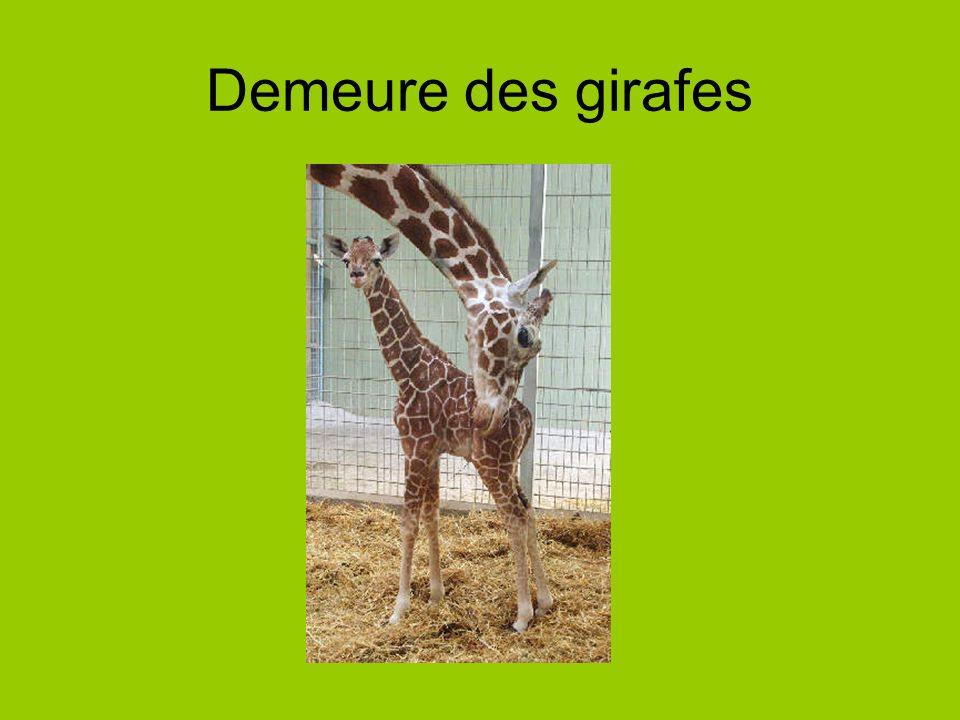 Demeure des girafes