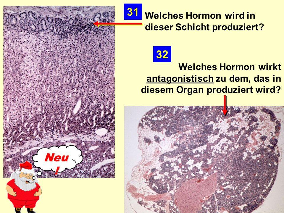 31 32 Neu! Welches Hormon wird in dieser Schicht produziert
