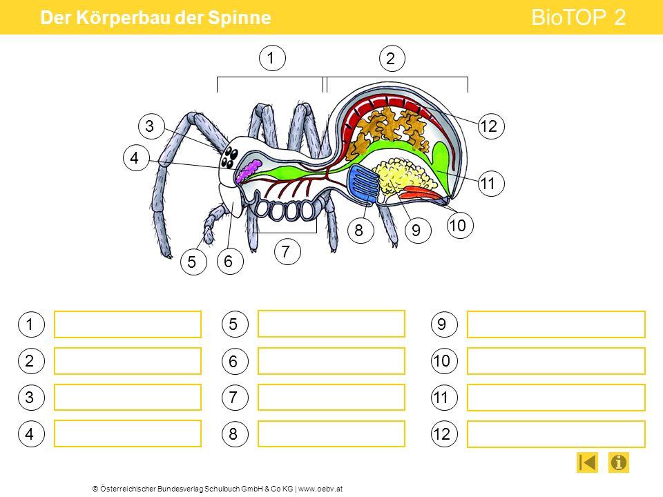 Der Körperbau der Spinne