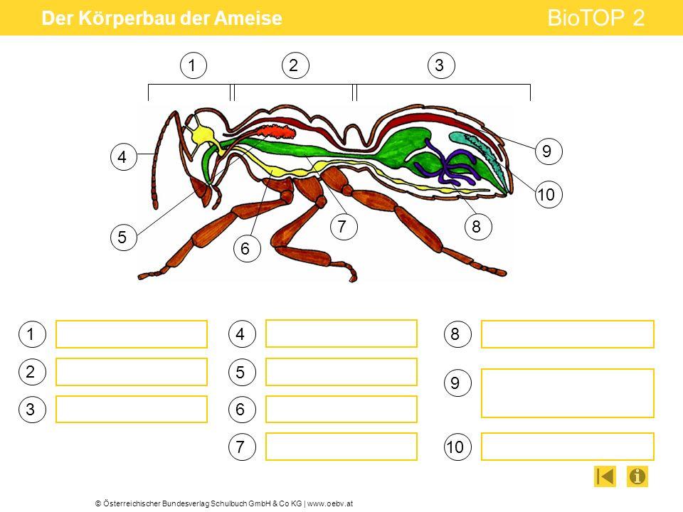 Der Körperbau der Ameise
