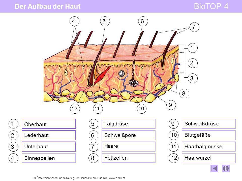 Der Aufbau der Haut4. 8. 7. 5. 6. 9. 10. 11. 12. 3. 2. 1. 1. Oberhaut. 5. Talgdrüse. 9. Schweißdrüse.