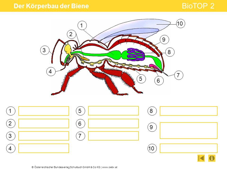 Der Körperbau der Biene