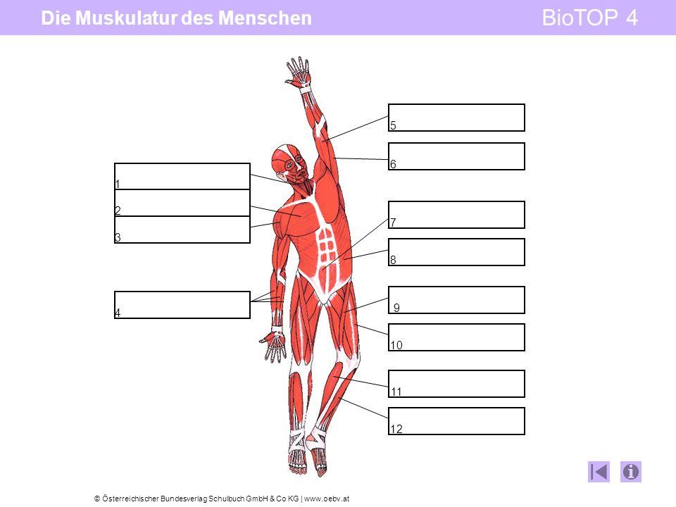 Die Muskulatur des Menschen