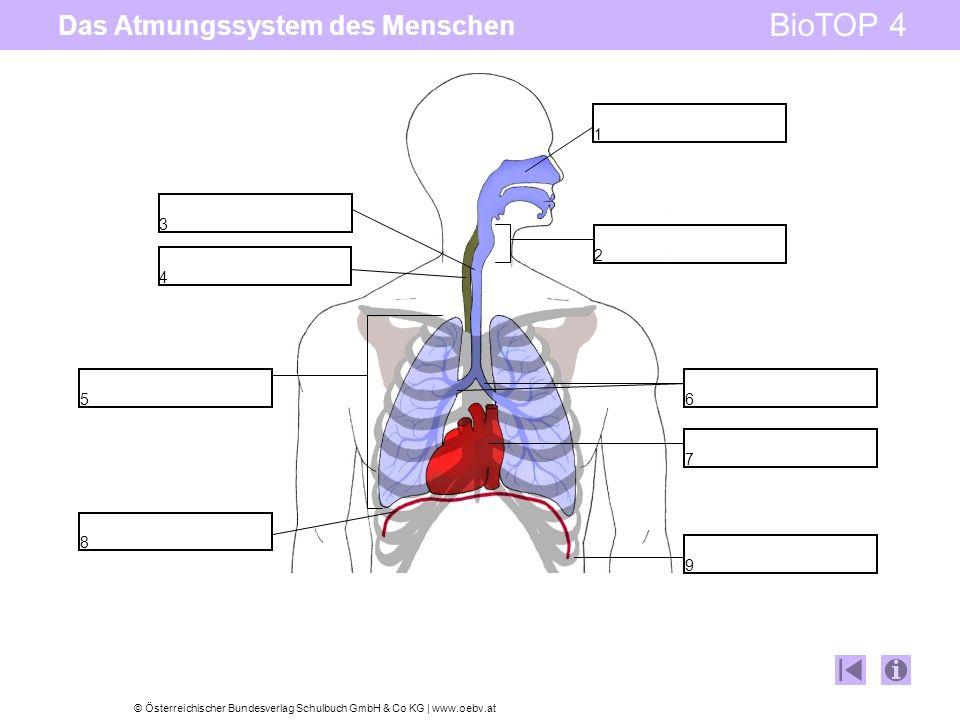 Das Atmungssystem des Menschen