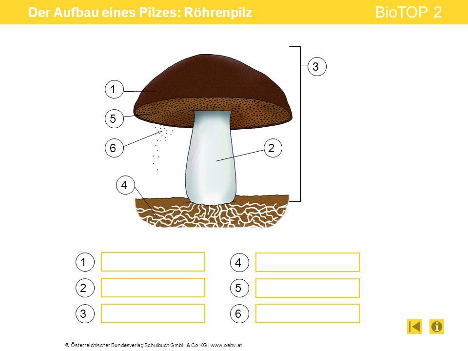 Der Aufbau eines Pilzes: Röhrenpilz