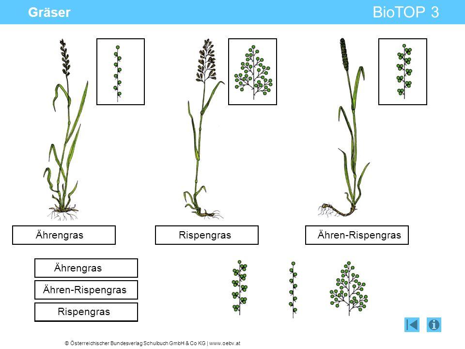 Gräser Ährengras Rispengras Ähren-Rispengras Ährengras