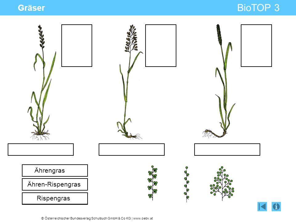 Gräser Ährengras Ähren-Rispengras Rispengras