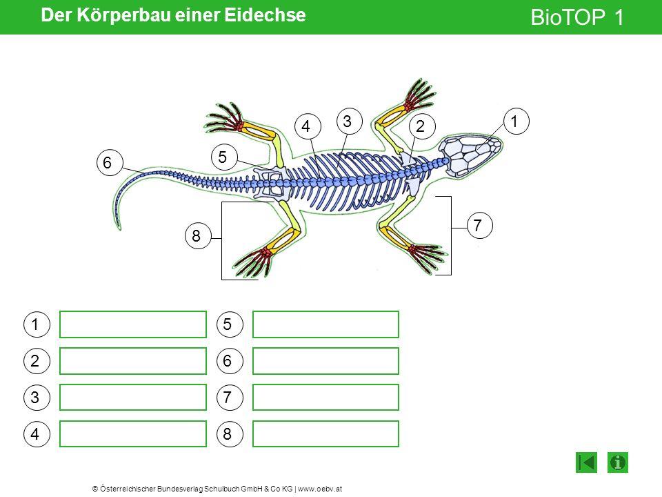 Der Körperbau einer Eidechse
