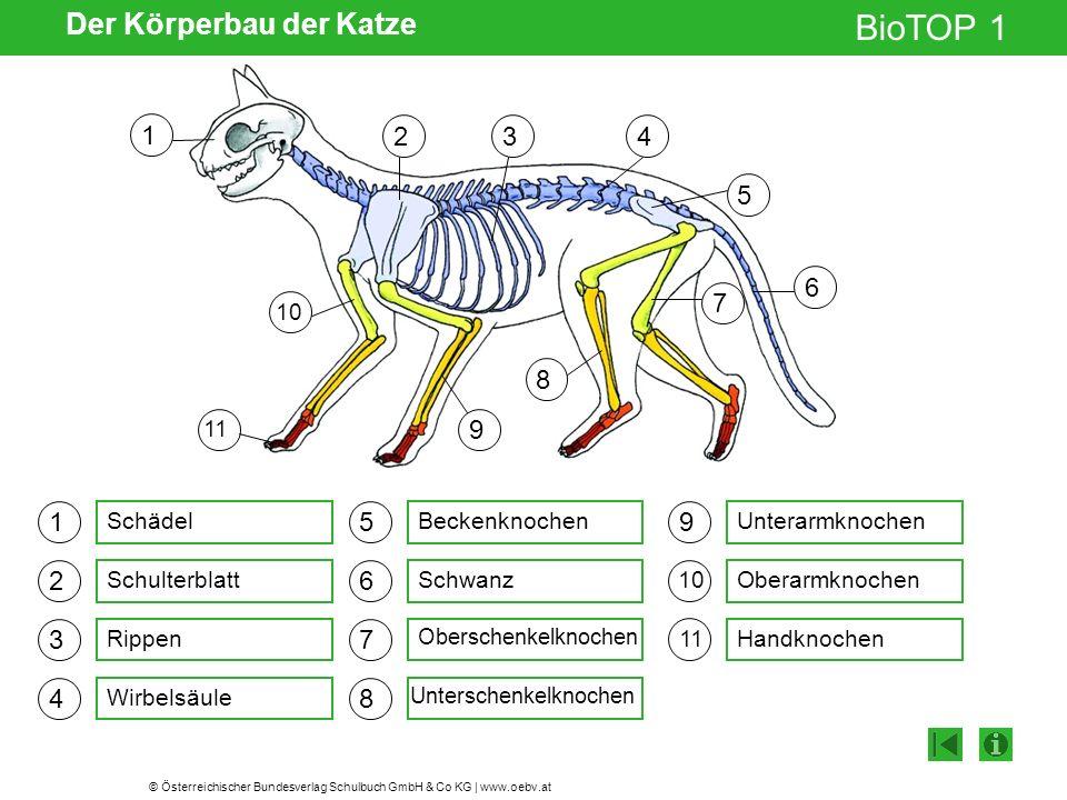 Der Körperbau der Katze