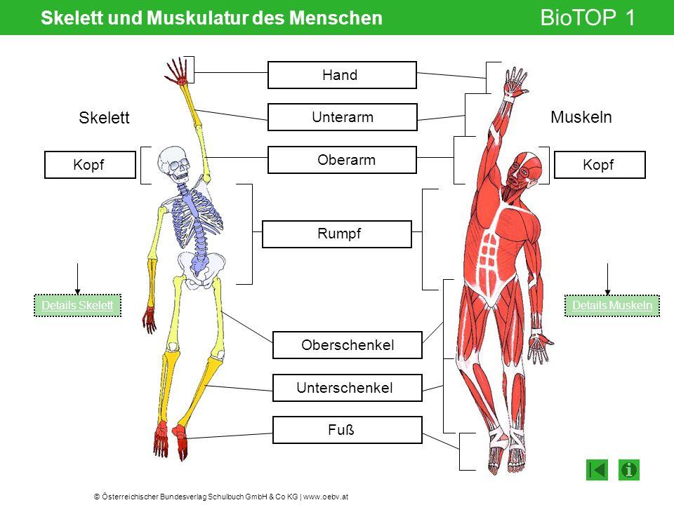 Skelett und Muskulatur des Menschen