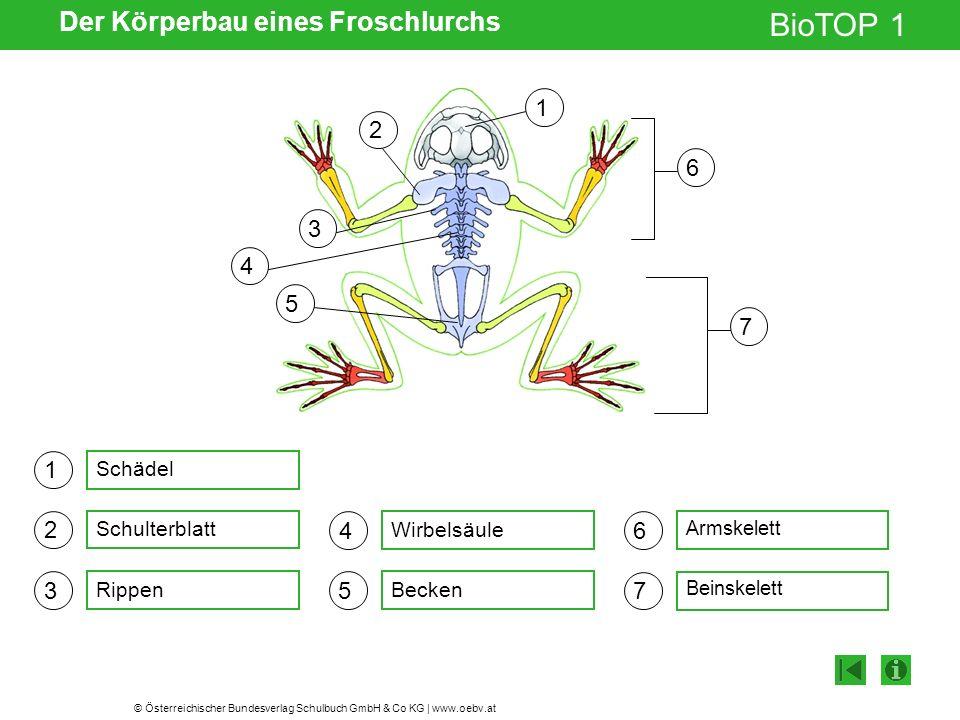 Der Körperbau eines Froschlurchs