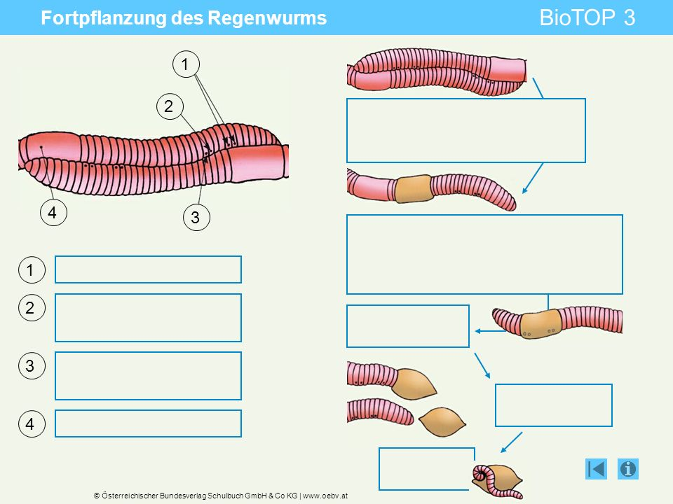 Fortpflanzung des Regenwurms