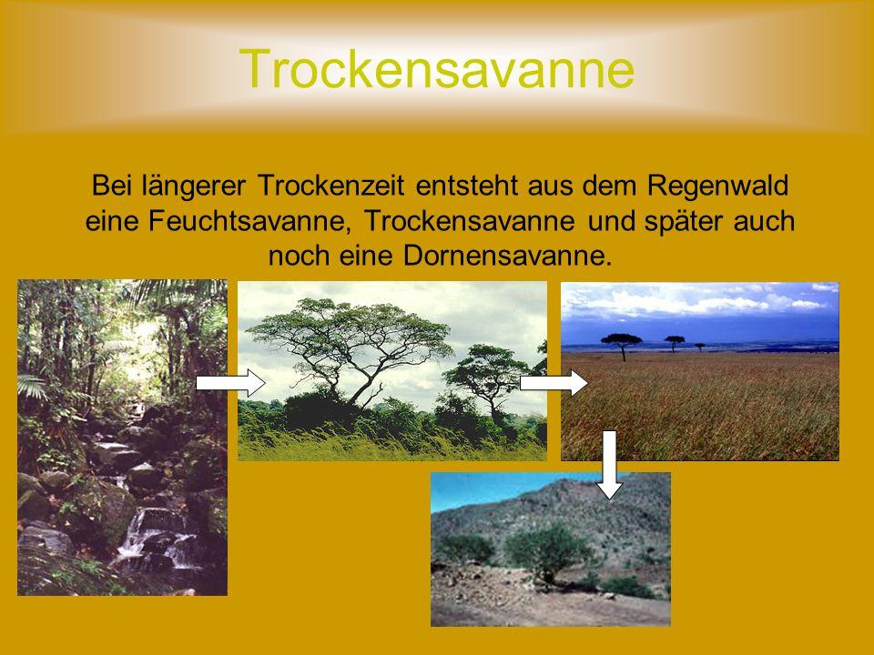 Trockensavanne Bei längerer Trockenzeit entsteht aus dem Regenwald eine Feuchtsavanne, Trockensavanne und später auch noch eine Dornensavanne.
