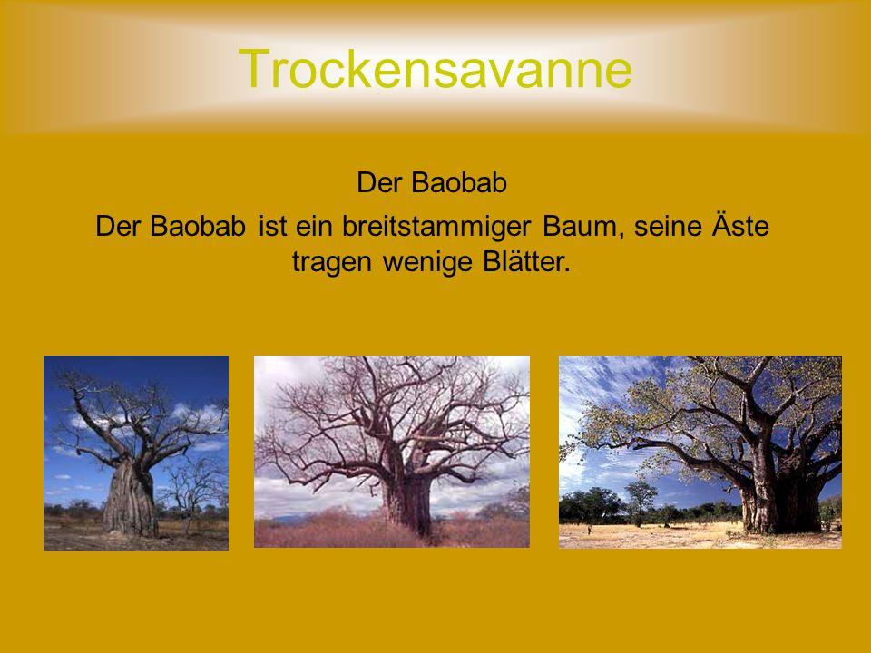 Trockensavanne Der Baobab