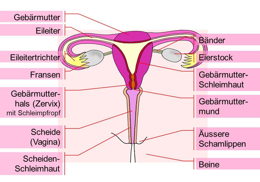 Gebärmutter- Schleimhaut
