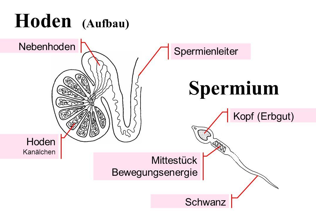 Hoden (Aufbau) Spermium Nebenhoden Spermienleiter Kopf (Erbgut)