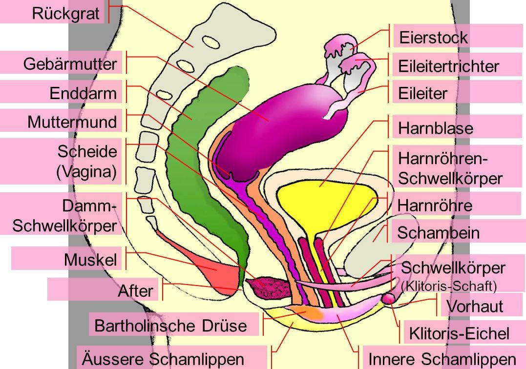 Harnröhren-Schwellkörper