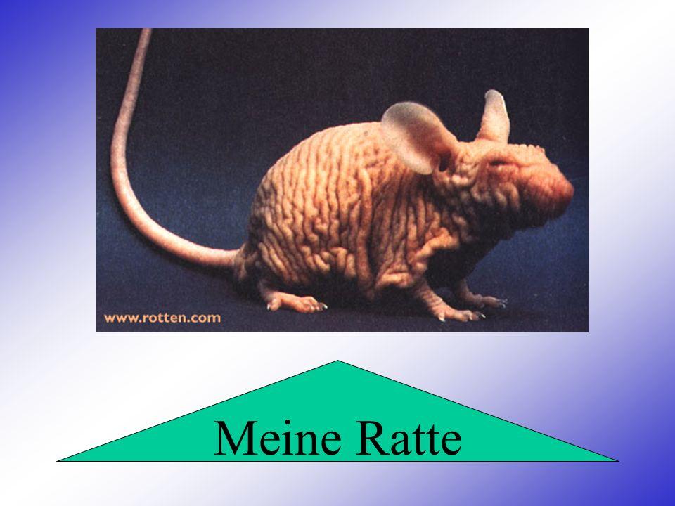 Meine Ratte