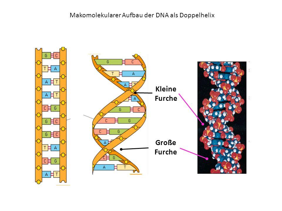 Makomolekularer Aufbau der DNA als Doppelhelix