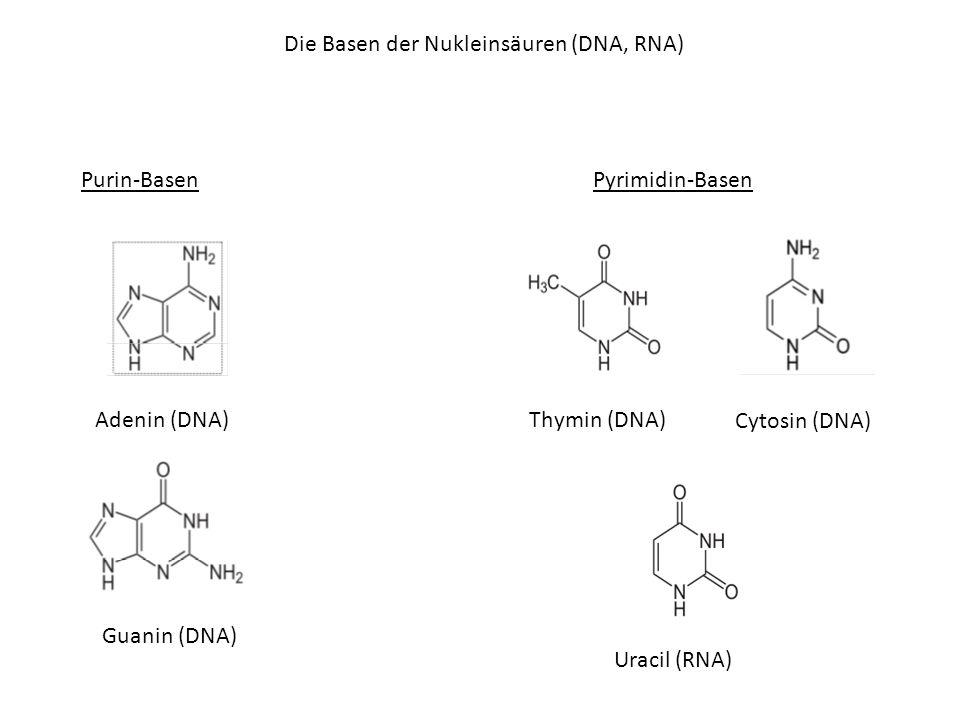 Die Basen der Nukleinsäuren (DNA, RNA)