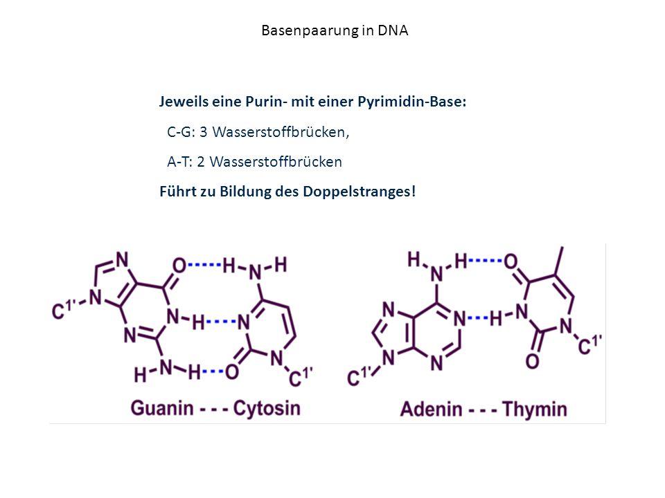 Basenpaarung in DNA Jeweils eine Purin- mit einer Pyrimidin-Base: C-G: 3 Wasserstoffbrücken, A-T: 2 Wasserstoffbrücken.