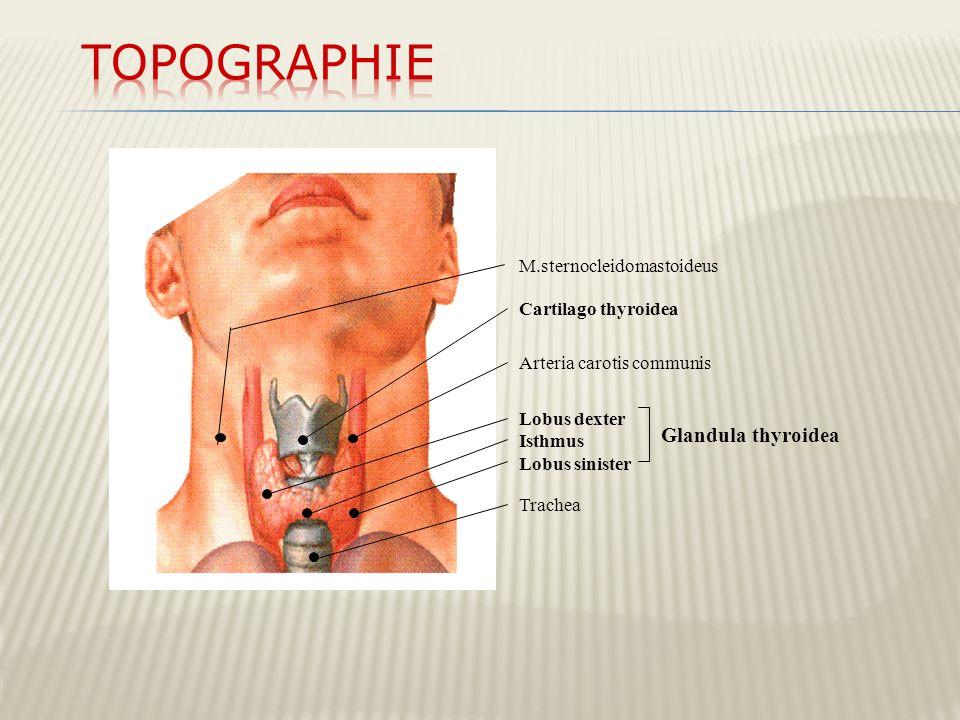 Topographie Glandula thyroidea M.sternocleidomastoideus