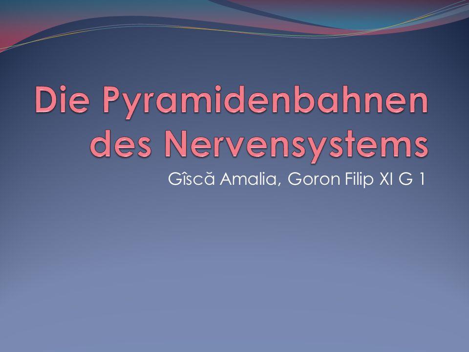 Die Pyramidenbahnen des Nervensystems