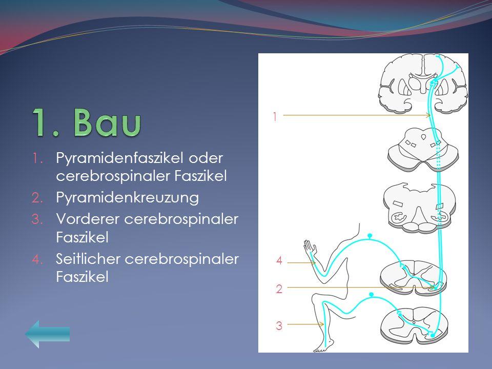 1. Bau Pyramidenfaszikel oder cerebrospinaler Faszikel