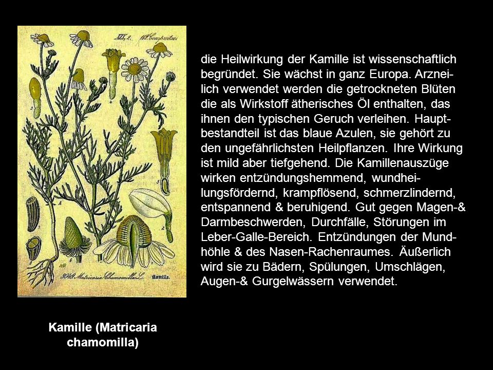 Kamille (Matricaria chamomilla)