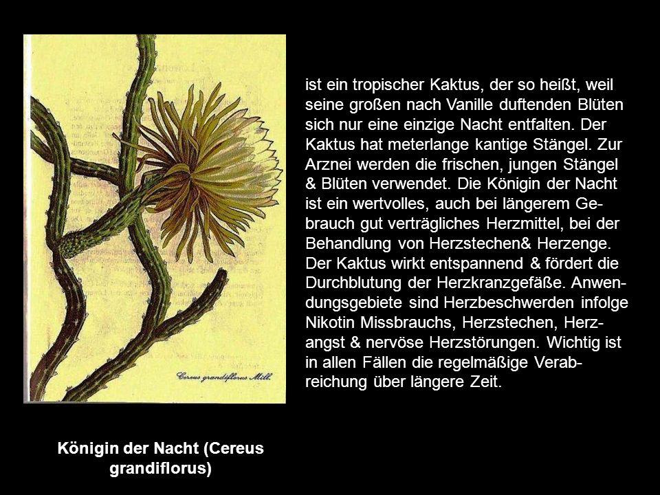 Königin der Nacht (Cereus grandiflorus)