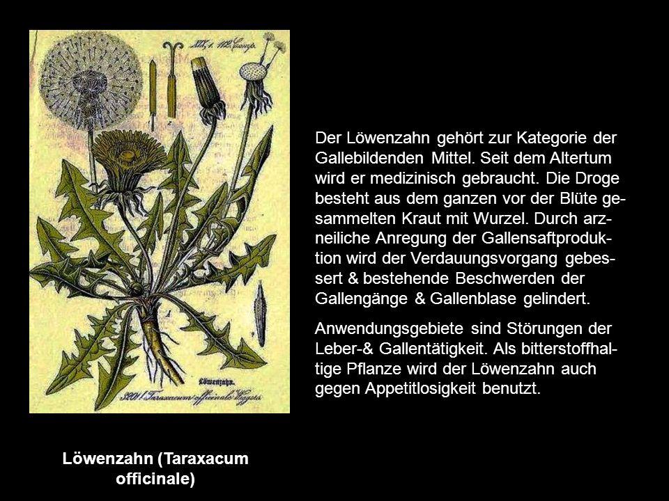 Löwenzahn (Taraxacum officinale)