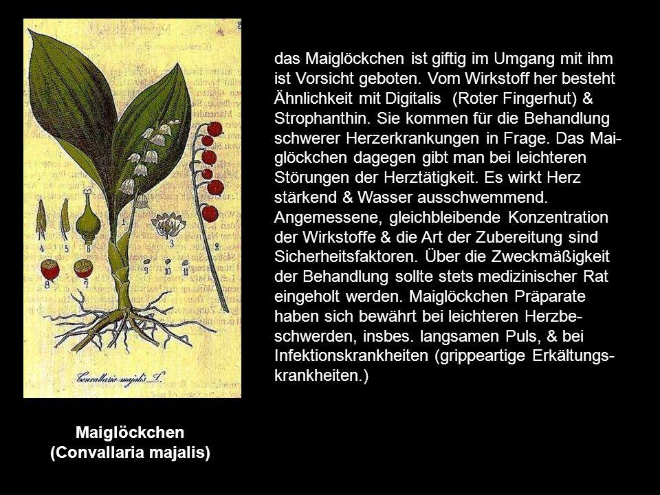 Maiglöckchen (Convallaria majalis)