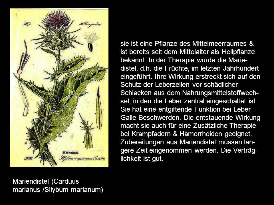 sie ist eine Pflanze des Mittelmeerraumes & ist bereits seit dem Mittelalter als Heilpflanze bekannt. In der Therapie wurde die Marie-distel, d.h. die Früchte, im letzten Jahrhundert eingeführt. Ihre Wirkung erstreckt sich auf den Schutz der Leberzellen vor schädlicher Schlacken aus dem Nahrungsmittelstoffwech-sel, in den die Leber zentral eingeschaltet ist. Sie hat eine entgiftende Funktion bei Leber-Galle Beschwerden. Die entstauende Wirkung macht sie auch für eine Zusätzliche Therapie bei Krampfadern & Hämorrhoiden geeignet. Zubereitungen aus Mariendistel müssen län-gere Zeit eingenommen werden. Die Verträg-lichkeit ist gut.