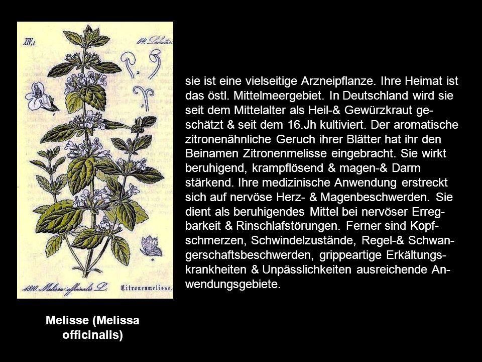 Melisse (Melissa officinalis)