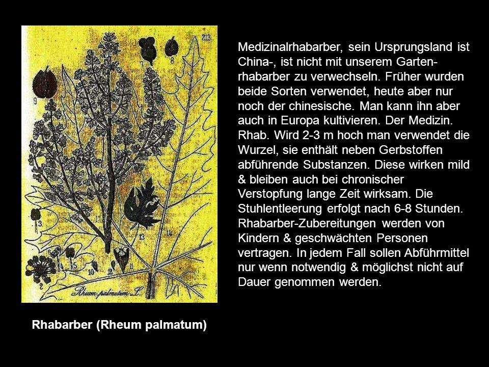 Rhabarber (Rheum palmatum)