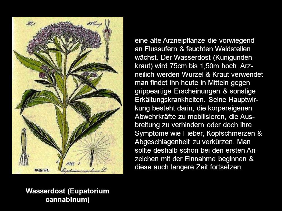 Wasserdost (Eupatorium cannabinum)