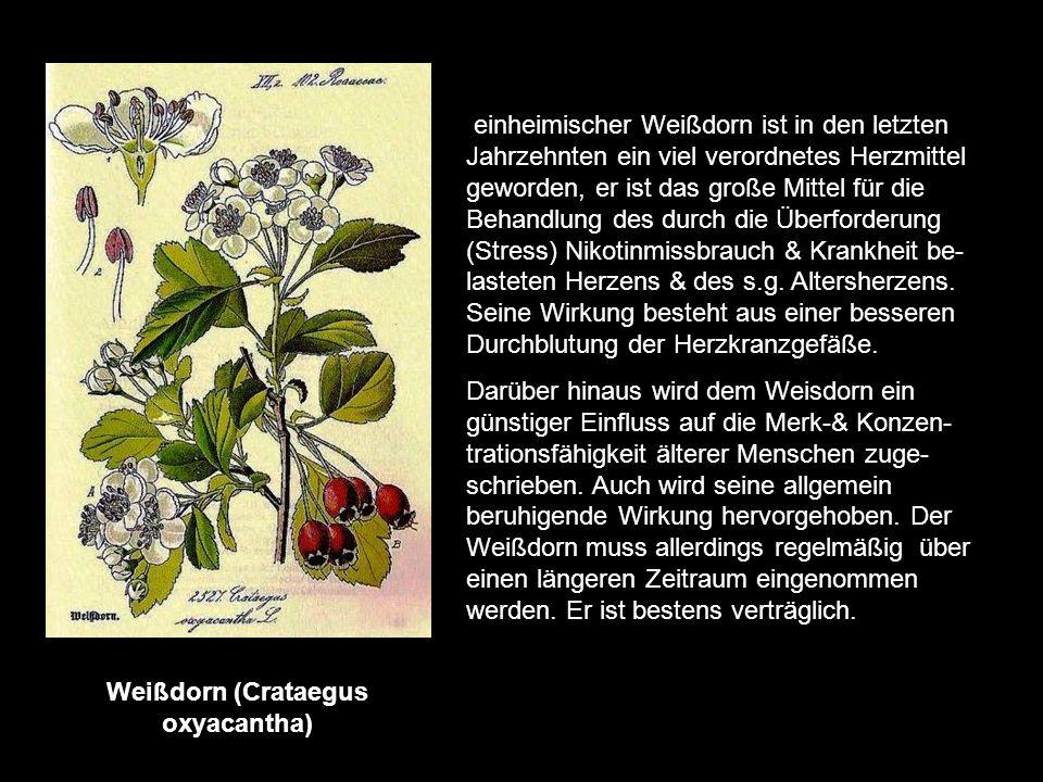 Weißdorn (Crataegus oxyacantha)