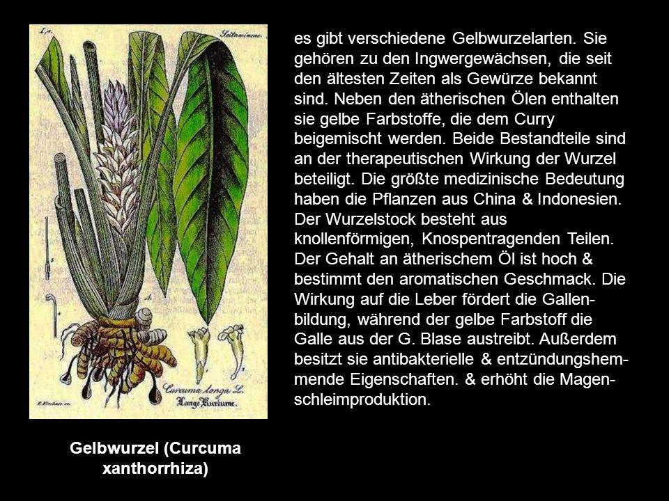 Gelbwurzel (Curcuma xanthorrhiza)