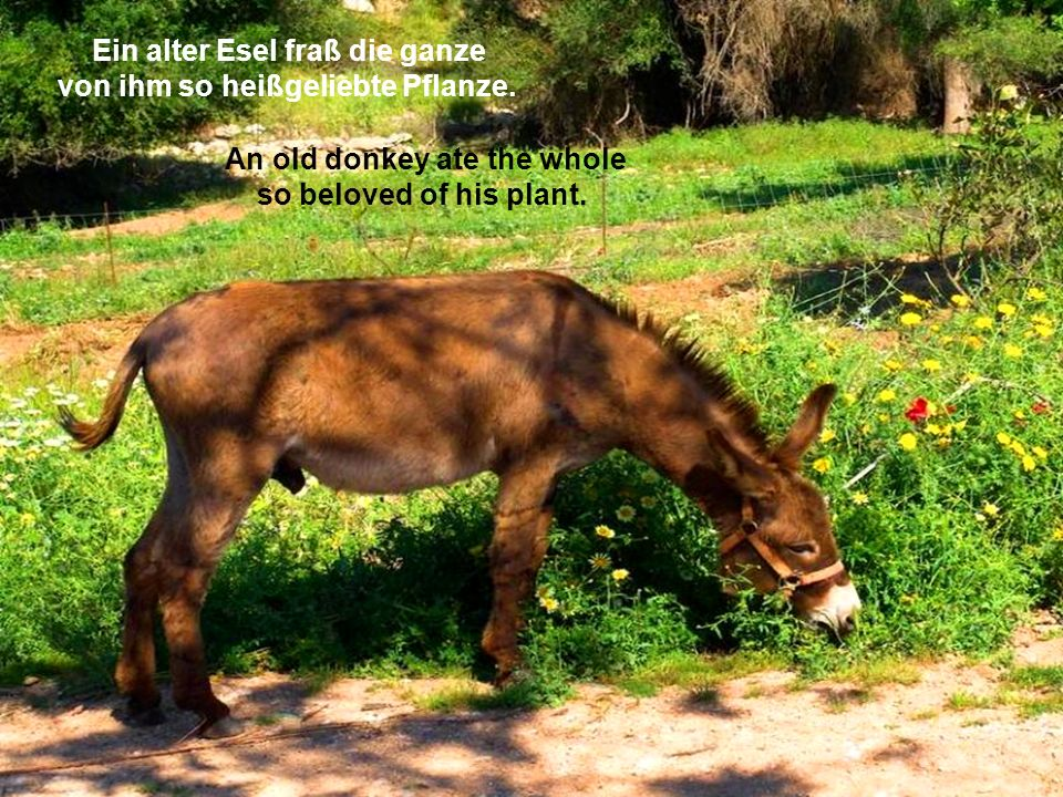 An old donkey ate the whole so beloved of his plant.